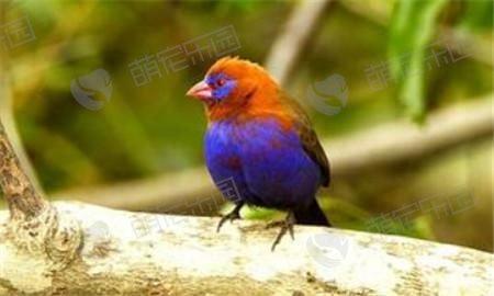 紫蓝饰雀该怎么养?
